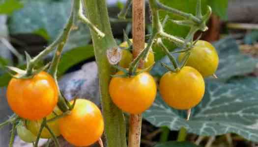 Goldita tomato