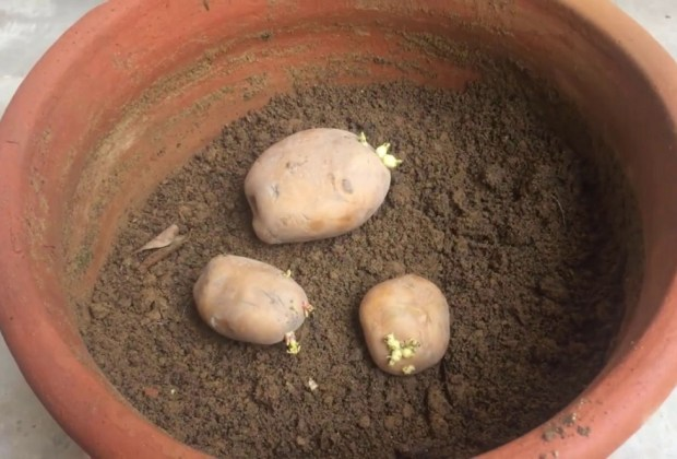How to grow a potato in a pot