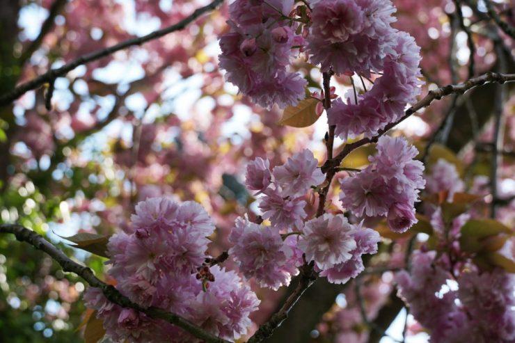 Utrechtin keskustassa on pieni kasvitieteellinen puutarha, jossa oli paljon kukkia huhtikuussa.