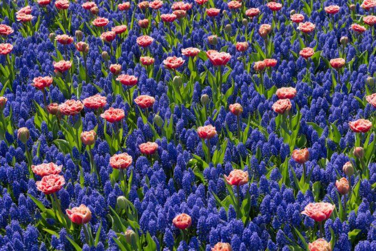 Keukenhof on puisto, jossa kasvaa miljoonia sipulikukkia, kuten tulppaaneja, helmililjoja, narsisseja ja hyasintteja.