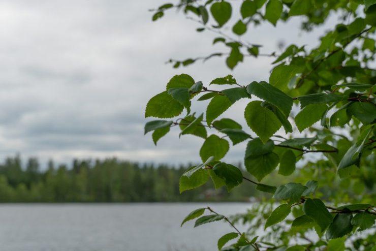 Saunomista ja naku-uintia mökillä, kuvassa koivun lehtiä ja järvimaisema