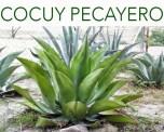 CocuyPecayero