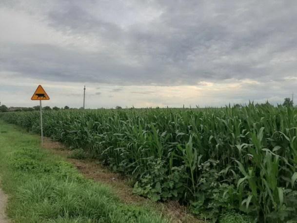 Widok pola kukurydzy. Znak ostrzegawczy przy drodze - zwierzęta gospodarskie