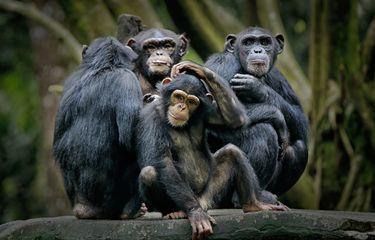 Simpanse Orang Utan Jantan Tak Segan Lakukan Kekerasan Seksual