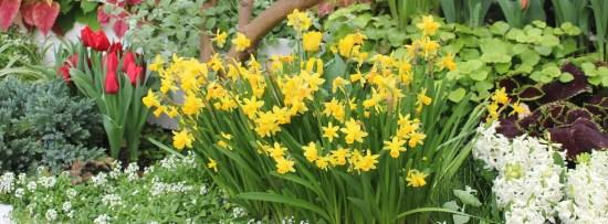 Krohn Daffodils
