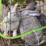SPECIAL REPORT    Rabbit farming gaining ground in Palawan