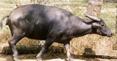 Tamaraw dwarf buffalo