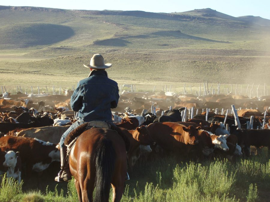 Herded Cattle