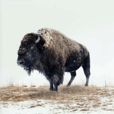 the honest bison paleo approved