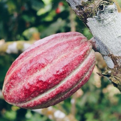Beyond Organic Cocoa Beans - CACOCO - Certified Paleo, Paleo Vegan - Paleo Foundation