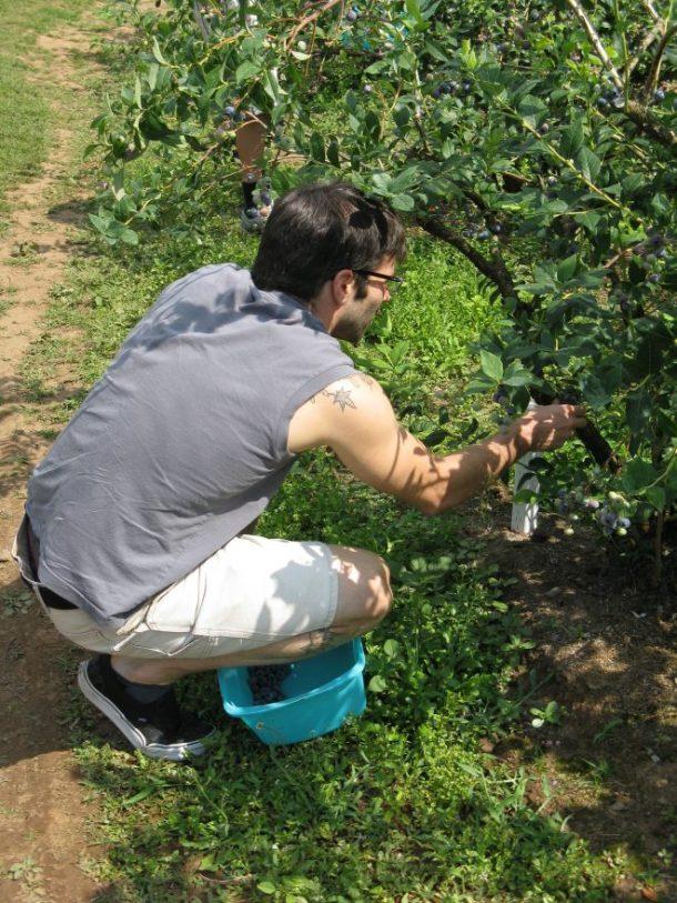 Jesse working hard harvesting blueberries