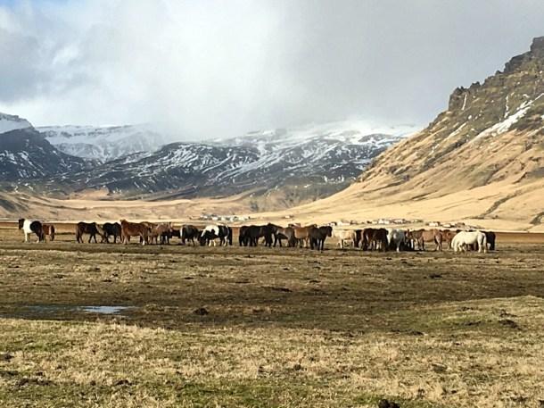 Icelandic horses in field