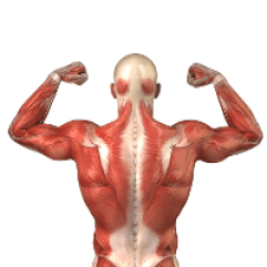 Human back muscle anatomy
