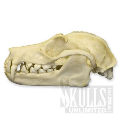 A replica of a fruit bat skull, also known as the flying fox. Image courtesy of skullsunlimited.com