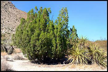 A conifer tree, probably a type of juniper.