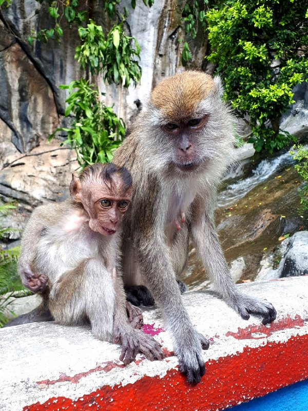 monkey batu caves