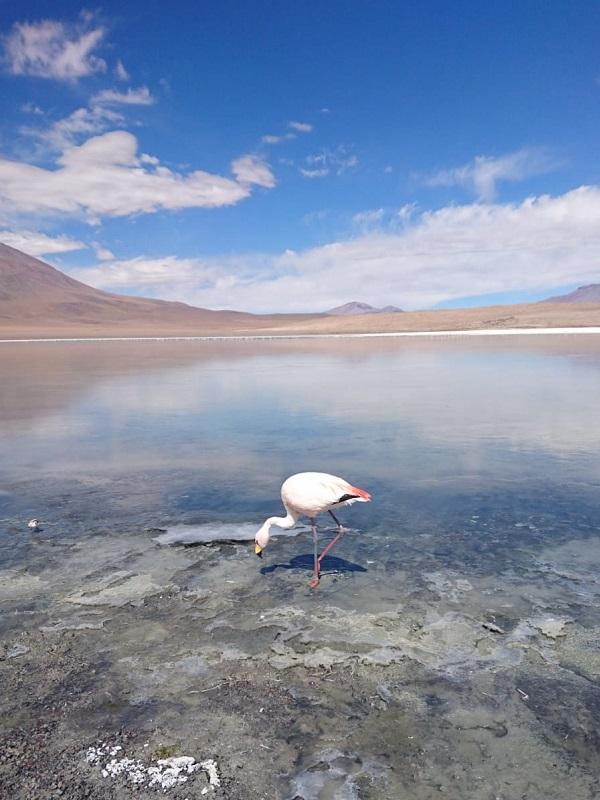 bolivia flamingo