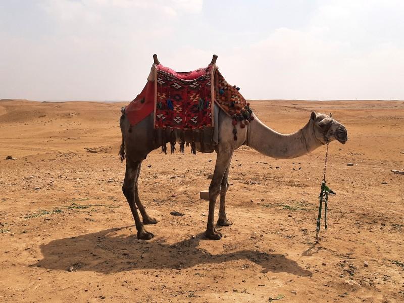 camel giza pyramid complex