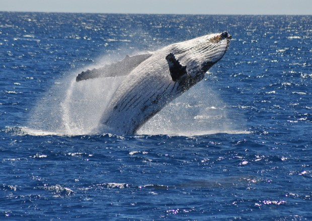 Whale Watching Cairns