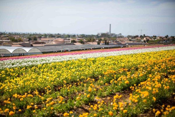 The Flower Fields-1