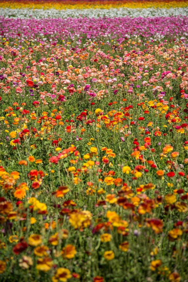 The Flower Fields-48