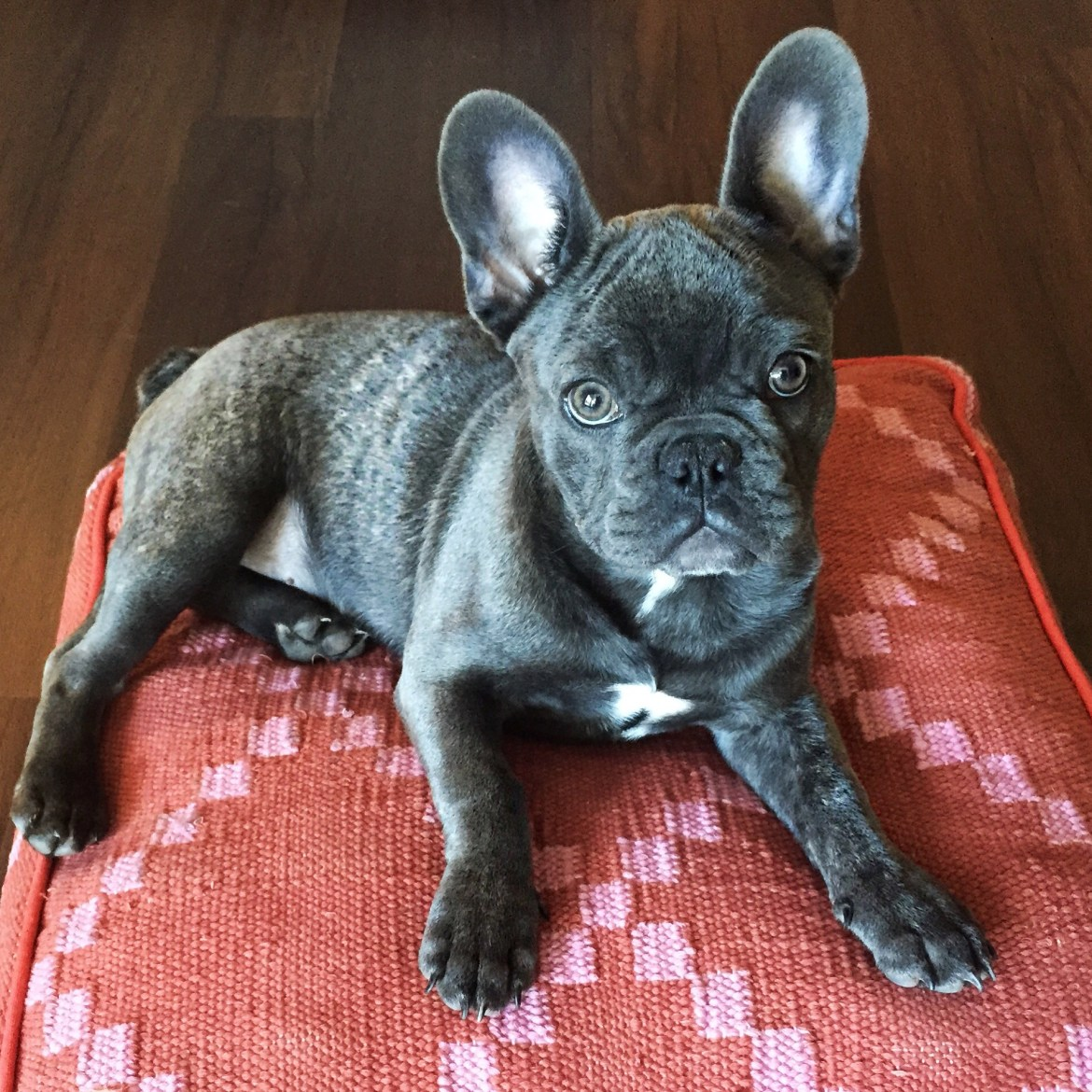 Frenchie | FillyDog Bed | Palms to Pines
