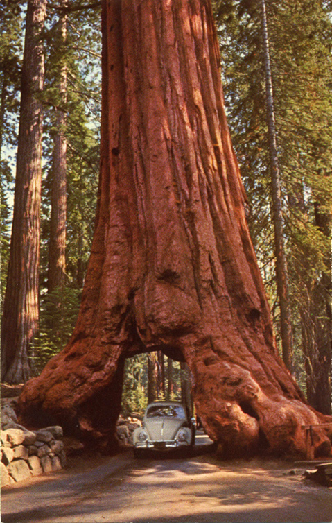 De Sequoia Succesvol Zaaien Mammoetboom Sequoiadendron