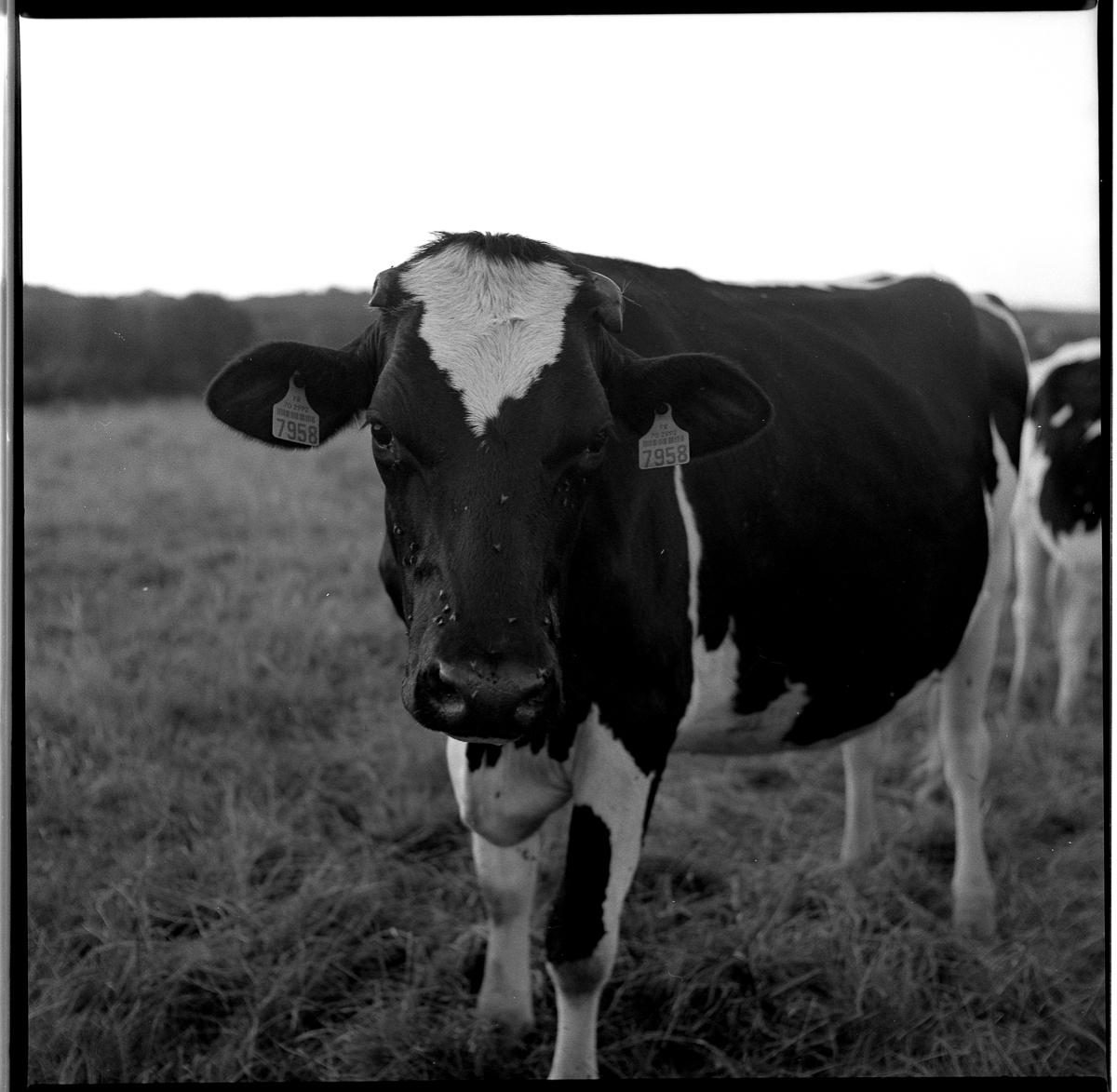 Série de : «Les vaches» à Scey-sur-Saône