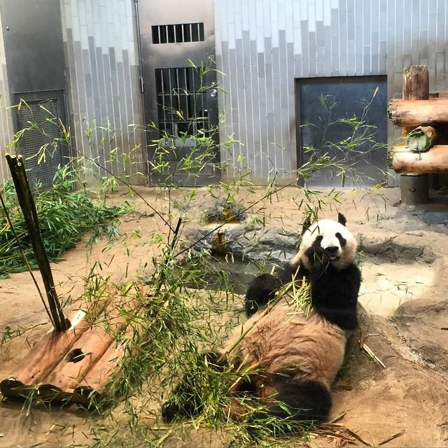Big Lazy Panda