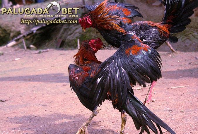 Gaya Bertarung Ayam Bangkok Yang Selalu Menjadi Juara
