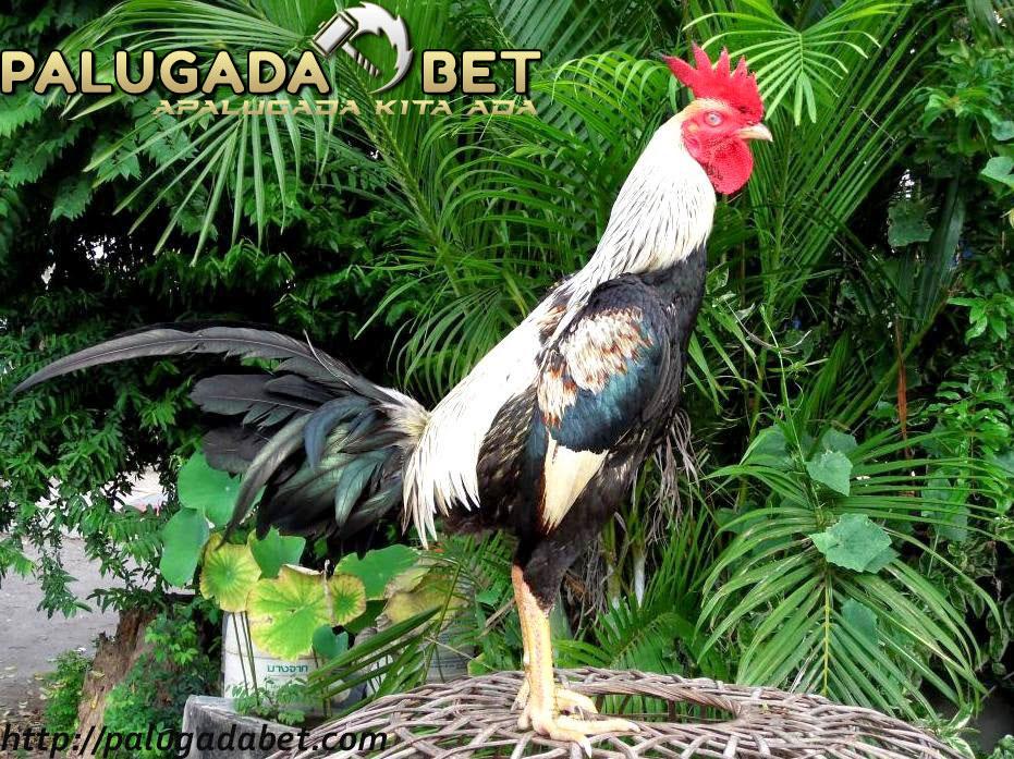 Cara Perawatan Ayam Adu Harian Kualitas Tempur