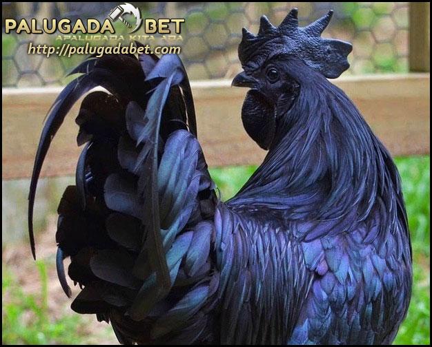 Agen Sabung Ayam - Mitos dan Keistimewaan Dari Ayam Cemani