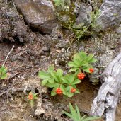 Berries in Canadian Rockies