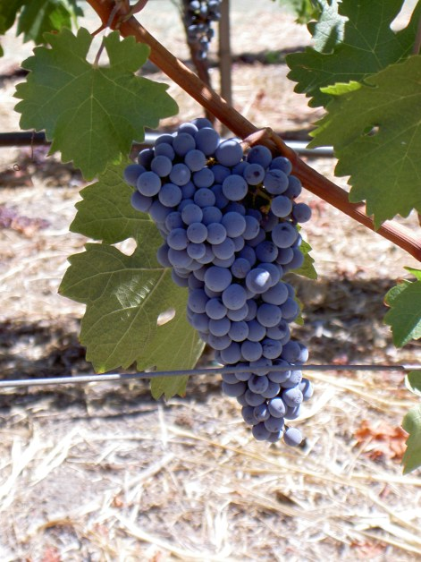 Grapes , Yellowstone