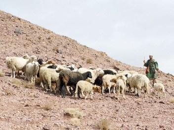 002-shepherds-sheep (1)