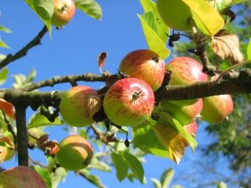 apple-tree-apples-colorful-54629
