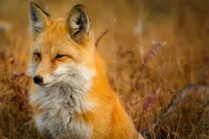close-up-of-fox-on-grass-247399