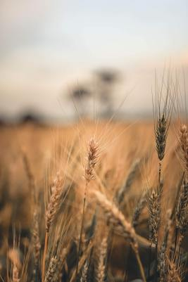 close-up-of-a-wheat-plant-in-a-cropland-2800553