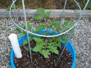 garden0429-tomato3
