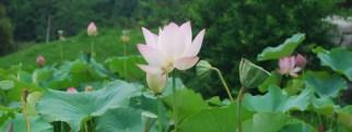 a lotus flower next to pods