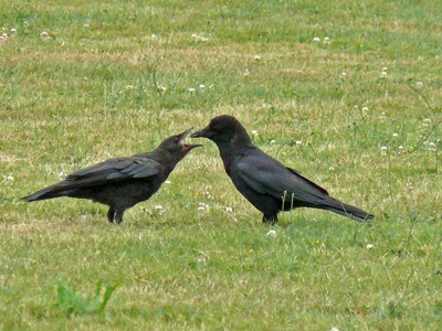 Speaking of Crows…