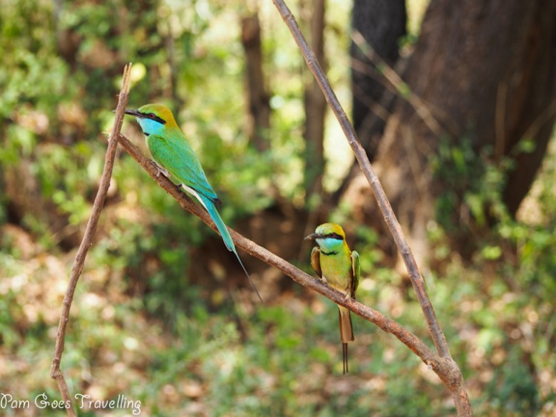 Green Bee Eater spotted at Yala National Park