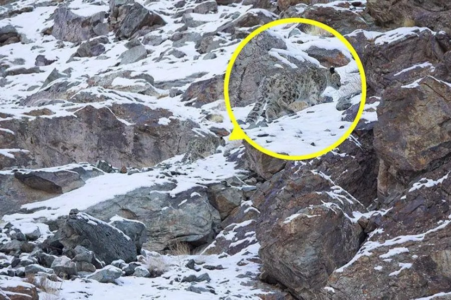 A snow leopard is seen, highlighted and magnified in yellow, camouflaged against a mountain near the Indian Himalayas — Can You Spot the Snow Leopards in These Photos;