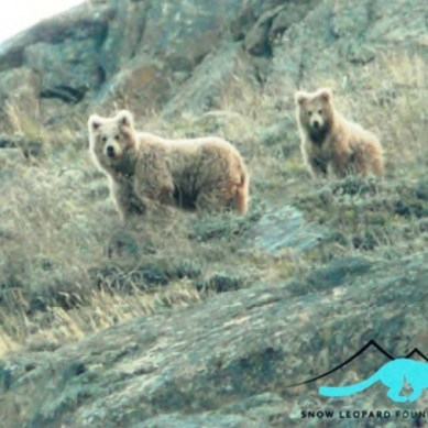 A brown bear family sighted in Hundrap, Ghizer
