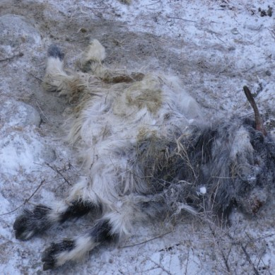 What is killing the goats in Ishkoman Valley and how can it affect wildlife in the region?