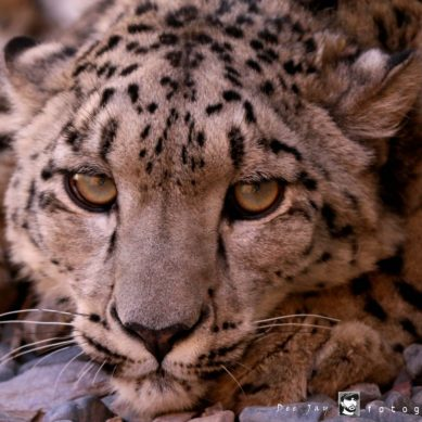 Hunza: More than 10 goats killed by Snow Leopard in Raminji village of Gojal Valley