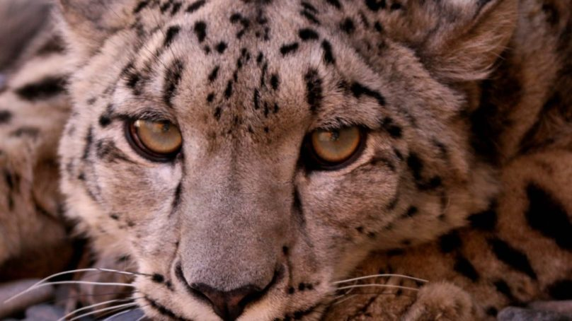 Police searching for 'local herder' accused of killing snow leopard, selling skin for PKR 50,000