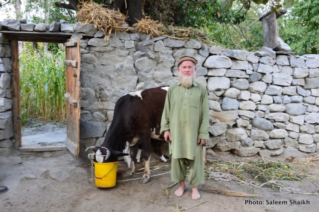 Farmer-turned-herdsman Ishaq Khan, 68, ekes out his livelihood by rearing tow cows and three goats. A single devastating flash flood in 2010 washed away his home, crops and fruit orchards in just one night, plunging him into a vicious cycle of poverty and hunger. It was one late midnight of 6 August in 2010 when sky was heavily overcast with roaring black clouds, which triggered heavy rains non-stop for several hours. While it was raining, what he saw was a roaring flash flood coming down a mountain so fast that he was only able to save his and his family's lives by fleeing to a higher ground. Photo credit: Saleem Shaikh