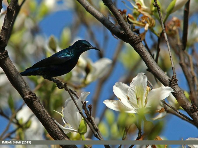 Purple Sunbird (Cinnyris asiaticus) captured at G-9, Islamabad, Pakistan