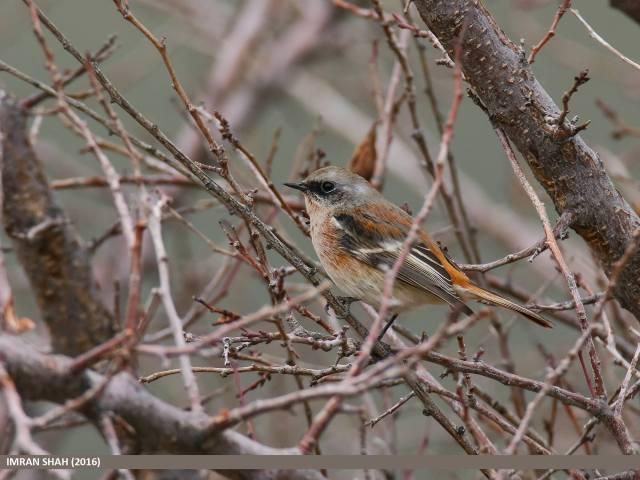 birds-of-gilgit-baltistan-13